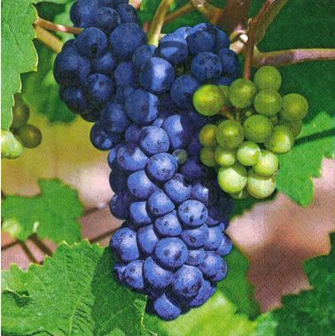 Ubrousek 33x33 cm - Sweet grapes